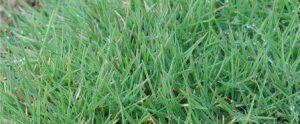 Césped Agrostis Estonolifera