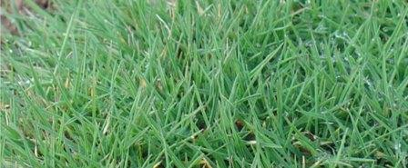 Césped Agrostis Estolonifera