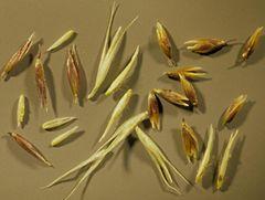Semilla de Agrostis Estolonifera