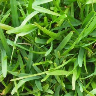 Buchloe Dactyloides
